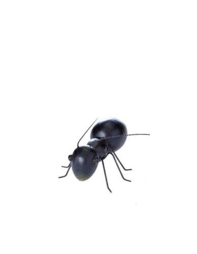 Mrówka Czarna Mała - Dekoracja